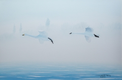 24-Swans in Morning Mist