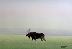 Moose in Summer Field
